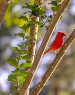 male north american cardinal nest territorial