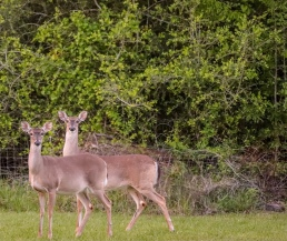 Whitetail deer doe pregnant