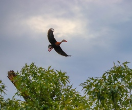 black bellied whistling duck magnolia texas flying waterfowl tree duck