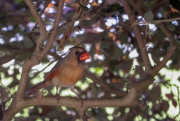 North American Cardinal female