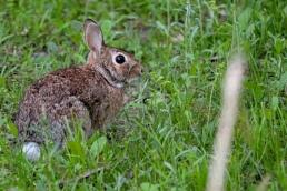 Cottontail rabbit magnolia texas