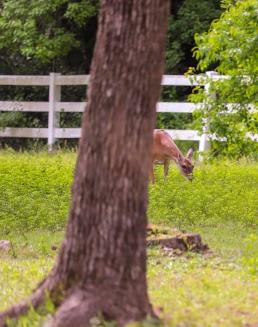 Whitetail deer doe foraging pregnant