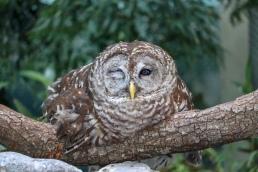 Hangover Hungover Owl