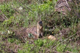 Ground Squirrel Potgut Utah Wasatch National Forest Twin Peaks Wilderness Area