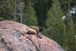 Marmot Utah Lake Blanche Rodent Whistle Pig