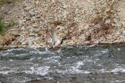 Mallard drake duck waterfowl Provo River Utah