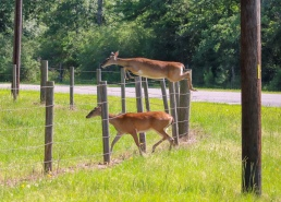 Whitetail deer doe fence jumping