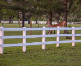 pregnant whitetail doe deer jumping fence