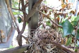 baby bird north american cardinal nest