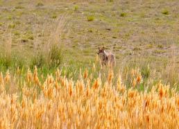 coyote predator antelope island utah
