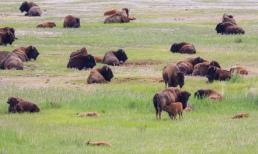 American Buffalo - Antelope Island, Utah