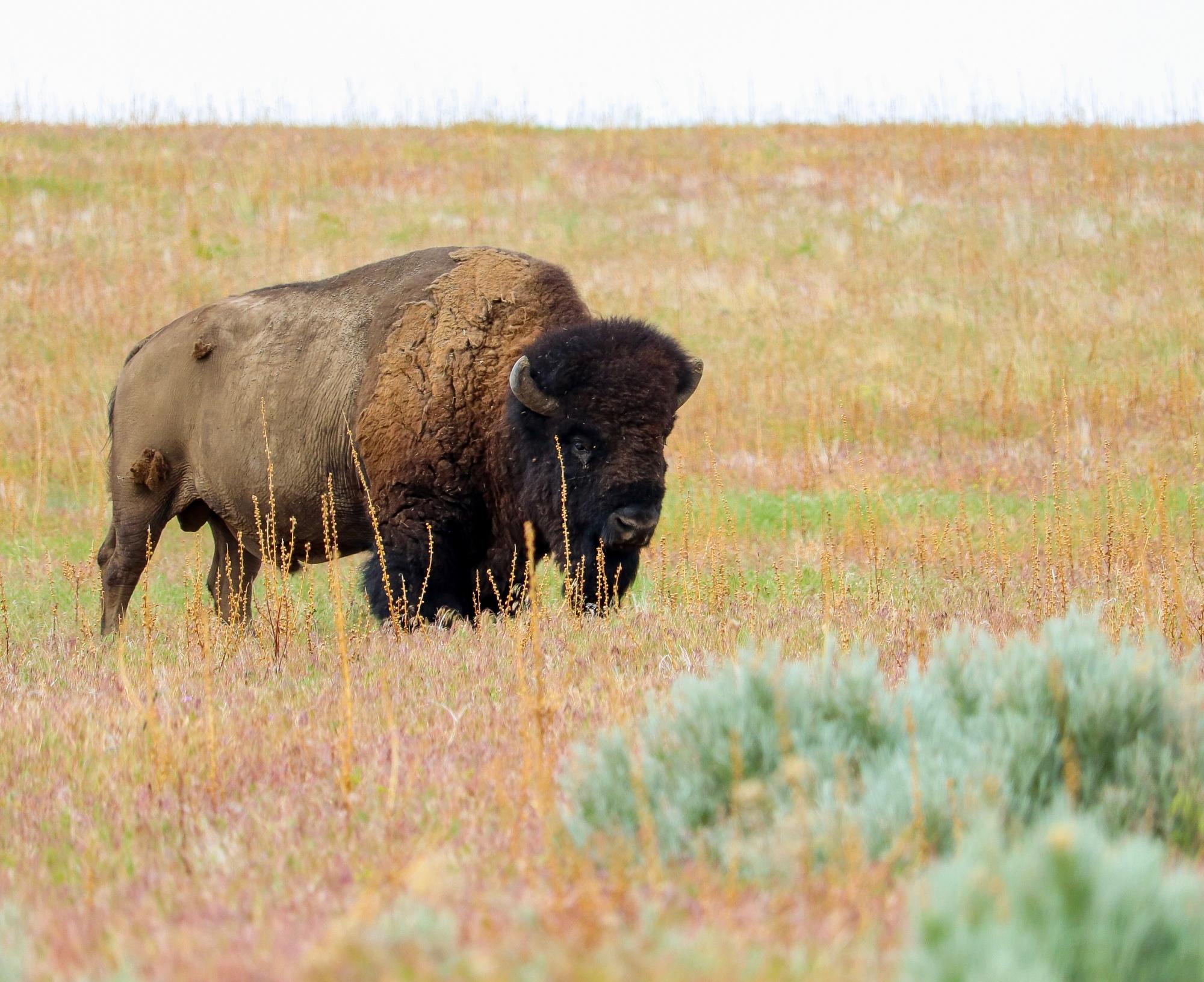 American icon buffalo bison bison