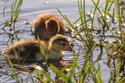 Baby ducks duckling ducklings waterfowl water
