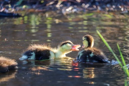 Baby ducks duckling ducklings waterfowl water