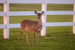 Spring Whitetail Doe Pregnant