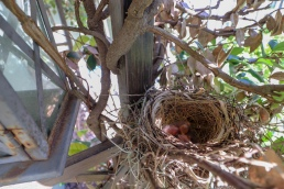 baby bird north american cardinal nest hatching chick