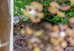 cottontail rabbit hiding juvenile magnolia texas hare