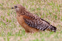 red shouldered hawk fulshear texas bird of prey raptor