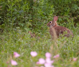 cottontail rabbit magnolia texas hare bunny