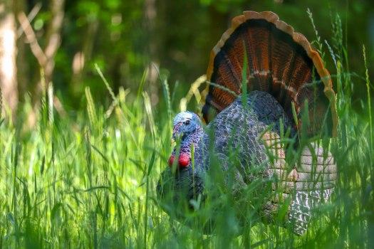 TurkeyDecoy