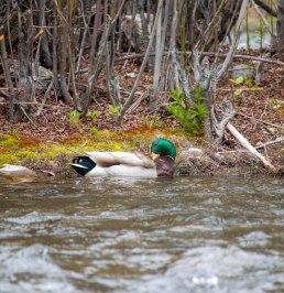 mallard drake preening waterfowl provo river utah